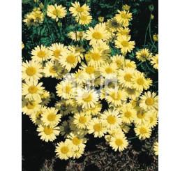 Anthemis tinctoria ´Wargrave´ / Ruman farbiarsky, C1,5