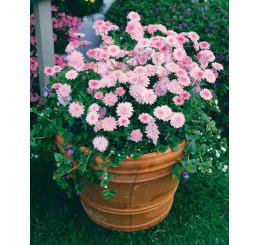 Argyranthemum ´Percussion´®Double Pink / Chryzantémovka ružová, bal. 3 ks, 3x K7