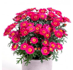 Argyranthemum Day-Zee® ´Wine Red´ / Chryzantémovka, bal. 6 ks sadbovačov