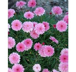 Argyranthemum ´Double Pink Honeybees´® / Chryzantémovka ružová, bal. 6 ks sadbovačov