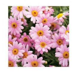 Argyranthemum Honeybees® ´Pink Eye´ / Chryzantémovka ružová, bal. 6 ks, 6xK7