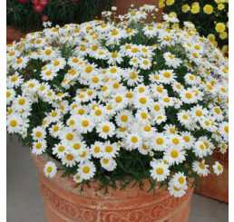 Argyranthemum ´White Butterfly´ / Chryzantémovka biela, bal. 6 ks sadbovačov