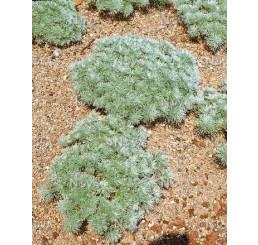 Artemisia schmidtiana ´Nana´/ Palina Schmidtova, C1,5