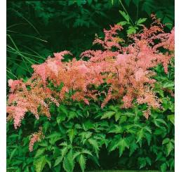 Astilbe simplicifolia ´H. Graafland´ / Astilba jedn. ružová,C1,5
