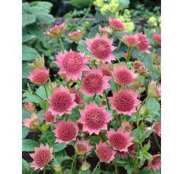 Astrantia major ´Rubra´ / Jarmanka väčšia ružová, C1
