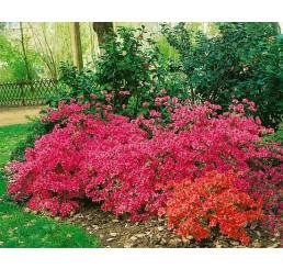 Azalea japonica ´Katja´ / Azalka japonská ružová, 20-30 cm, C2