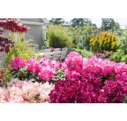 Rhododendron / Rododendón zmes druhov, bal. 100 sem.