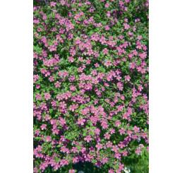 Bacopa ´Giga Rose´® / Bakopa ružová, bal. 6 ks, 6x K7