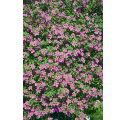 Bacopa ´Giga Rose´® / Bakopa ružová, K7