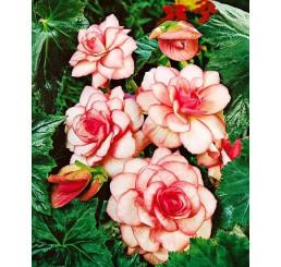 Begonia ´Bouton de Rose´ / Begónia, bal. 3 ks, 5/+