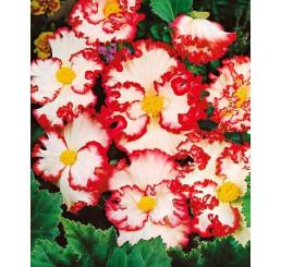 Begonia Crispa Margin. ´White/Red´ / B. obrúbená bielo-červená, bal. 3 ks, 5/6