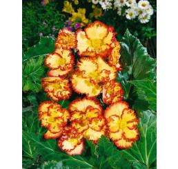 Begonia Crispa Margin. ´Yellow/Red´ / B. obrúbená žlto-červená, bal. 3 ks, 5/6