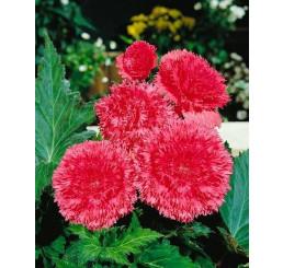 Begonia fimbriata ´Pink´ / Begónia strapkatá ružová, bal. 3 ks, 5/+