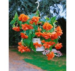 Begonia pendula ´Orange´ / Beg. previsnutá oranžová, bal. 3 ks, 5/+