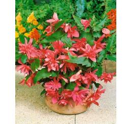 Begonia pendula ´Pink´ / Beg. previsnutá ružová, bal. 3 ks, 5/+