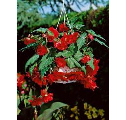 Begonia pendula ´Red´ / Beg. previsnutá červená, bal. 3 ks, 5/+