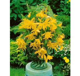 Begonia pendula ´Yellow´ / Beg. previsnutá žltá, bal. 3 ks, 5/+