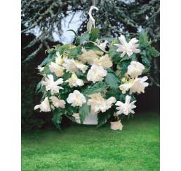 Begonia pendula ´White´ / Beg. previsnutá biela, bal. 3 ks, 5/+