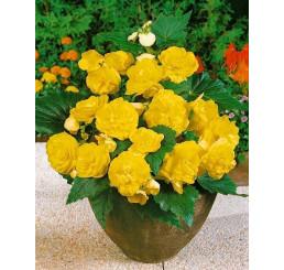 Begonia double ´Yellow´ / Begónia veľkokvetá žltá, bal. 3 ks, 5/+