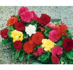 Begonia double ´Pink´ / Begónia veľkokvetá ružová, bal. 3 ks, 5/+