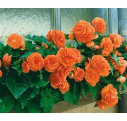 Begonia double ´Orange´ / Begónia veľkokvetá oranžová, bal. 3 ks, 5/+