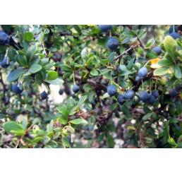 Berberis buxifolia ´Nana´/ Dráč krušpánolistý, 20-25 cm, C1,5
