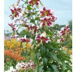 Lilium ´Beverly Dream´ / Ľalia, bal. 2 ks, 16/18