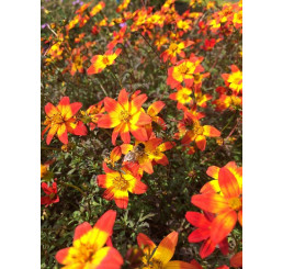 Bidens ´Beedance®Painted Red´ / Dvojzub , bal. 3 ks, 3x K7