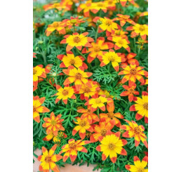 Bidens ´2 Teeth®´M Red Yellow Center´ / Dvojzub ,  bal. 3 ks, 3x K7