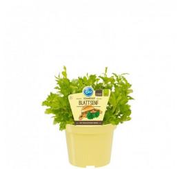 BIO Brassica juncea / BIO Horčica, K12