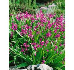 Bletilla hyacinthina ´Pink´/ Záhradná orchidea ružová, I.