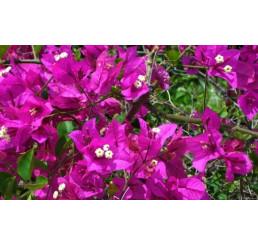 Bougainvilea glabra ´Purple´ / Bugénvilea fialová, K9