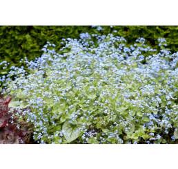 Brunnera macrophylla ´Jack Frost´ / Brunera, C1