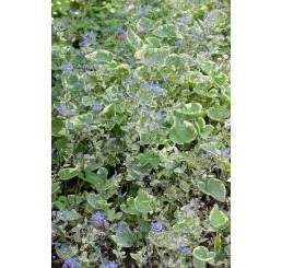 Brunnera macrophylla 'Hadspen Cream' / Brunera veľkolistá , K9