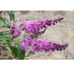 Buddleia davidii ´Border Beauty´ / Budleja fialová, 30-40 cm, C3,5