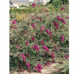 Buddleia davidii ´Nanho Purple´ / Budleja fialová, 20-25 cm, K12