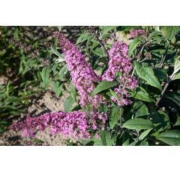 Buddleia davidii ´Pink Delight´ / Budleja ružová, 20-25 cm, K12