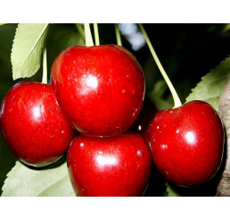 Prunus avium ´Burlat´ / Čerešňa, Gisela 5