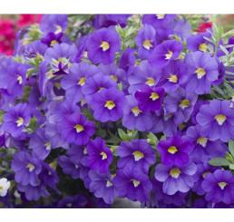Calibrachoa ´Celebration® Indigo´ / Mnohokvetá petúnia, K7