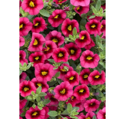 Calibrachoa Sweet Bells® ´Cherry Red Morn´ / Minipetúnia, bal. 6 ks sadbovačov