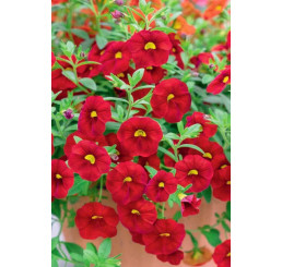 Calibrachoa Calipetit®´Red ´/ Mnohokvetá petúnia, bal. 6 ks, 6x K7