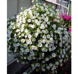 Calibrachoa ´Trailing Ice Million Bells´® / Mnohokvetá petúnia, bal. 6 ks sadbovačov