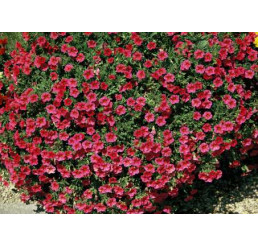 Calibrachoa ´Million Bells Compakt Cherry 08´® / Mnohokvetá petúnia, K7
