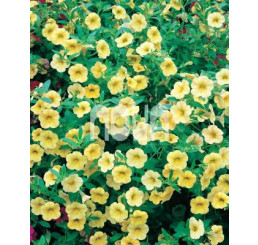 Calibrachoa ´Million Bells Lemon 2000´® / Petúnia, bal. 6 ks, 6x K7