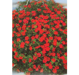 Calibrachoa ´Million Bells Red´® / Petúnia, bal. 3 ks, 3x K7