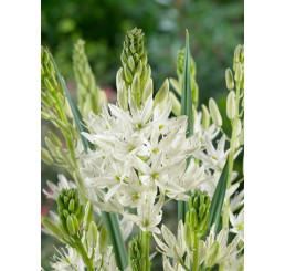 Camassia leichtlinii ´Alba´ / Kamasia biela, 14/+