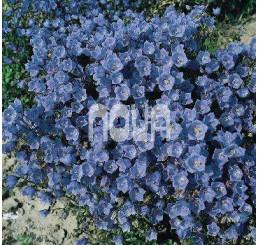 Campanula cochlearifolia ´Baby Blue´ / Zvonček maličký modrý, C1,5