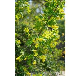Caragana arborescens / Karagana stromovitá, 40-50 cm, C3