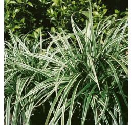 Carex morowii ´Variegata´ / Ostrica , K9