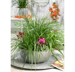Carex morrowi ´Irish Green´ / Ostrica, K9